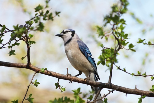 Blue jay chirping in the spring