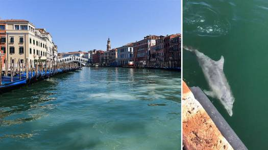 dolphins in venic water canals